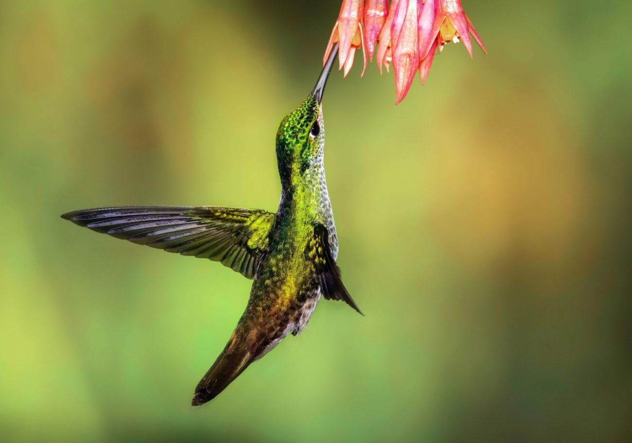 Andean Emerald hummingbird at Tandayapa Lodge Ecuador-unsplash