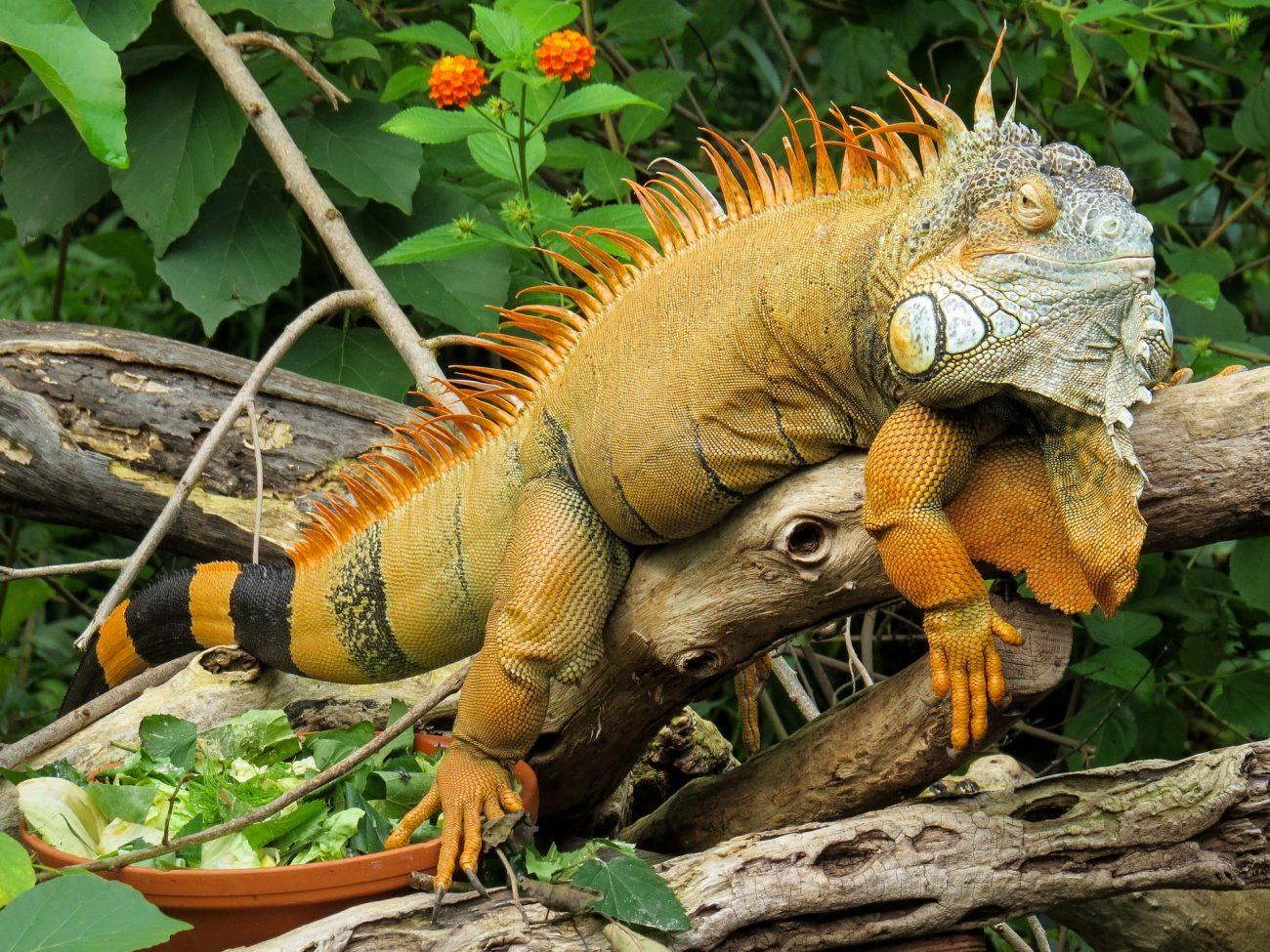 iguana-854332_1920