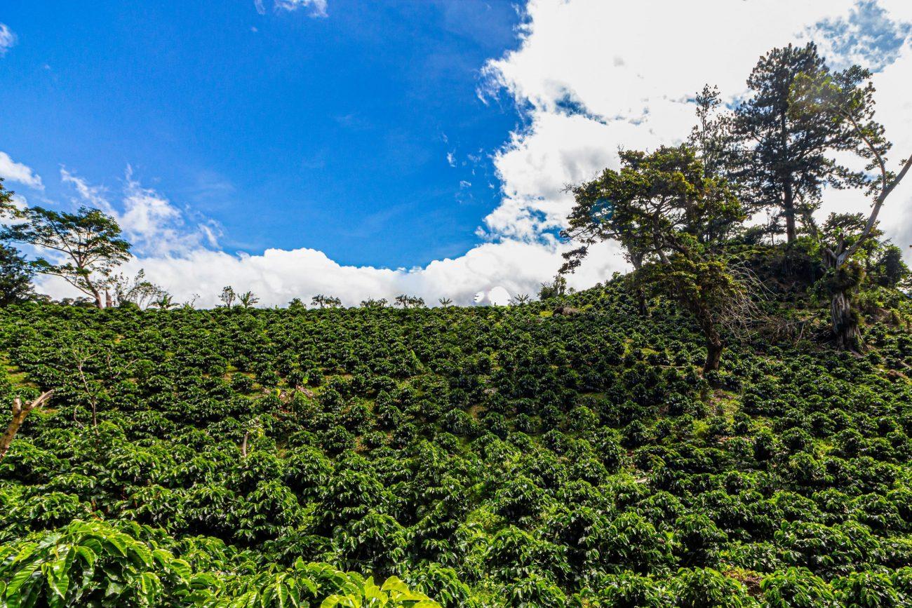 Young coffee plants in Boquete, Panama-unsplash
