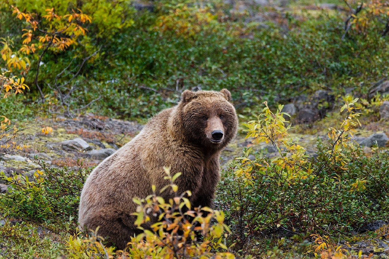 grizzly-bear-canada
